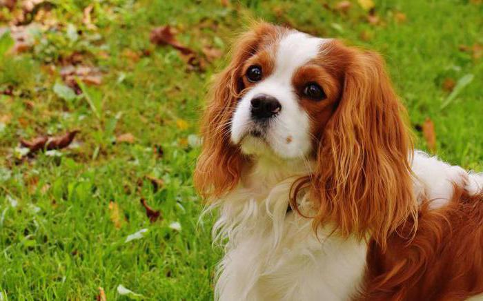 Chevalier King Charles Spaniel puppies