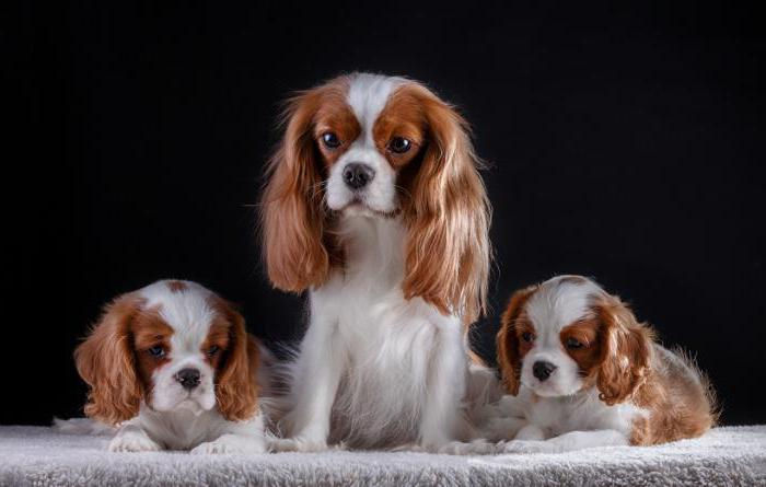 Chevalier King Charles Spaniel Weight