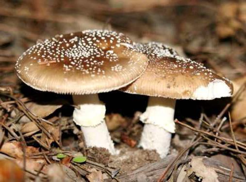 признаки ядовитых грибов