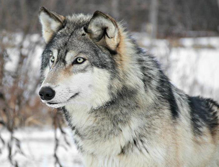 wolf description