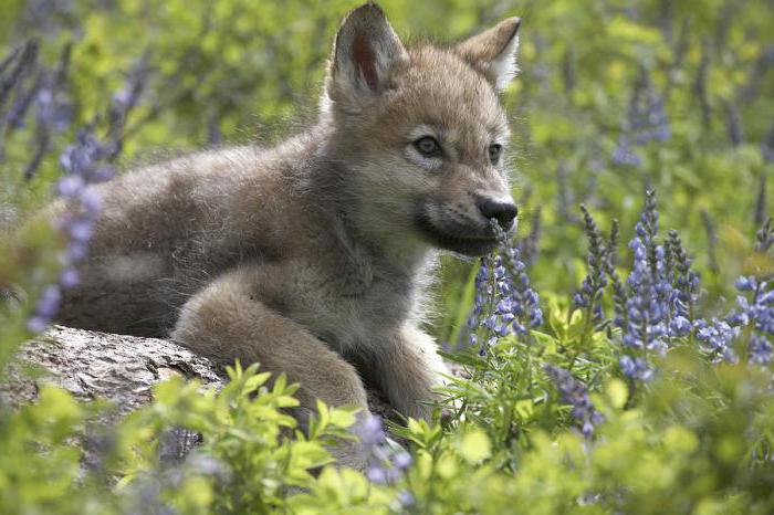 wolf lifestyle