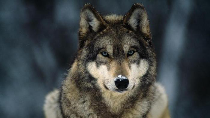 the biggest wolf in the world