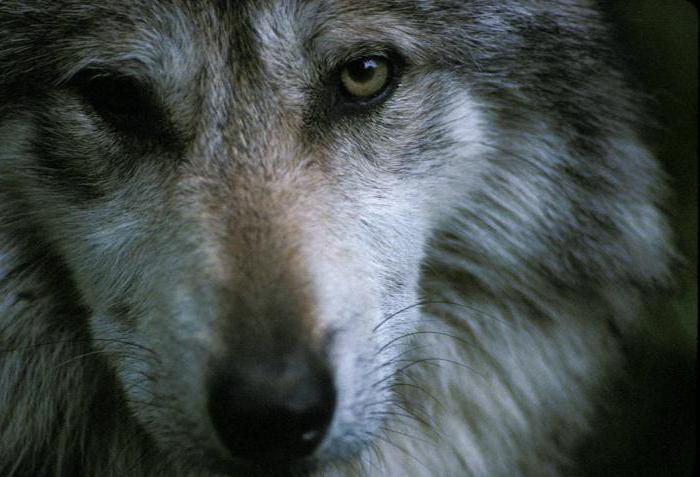 the biggest wolf