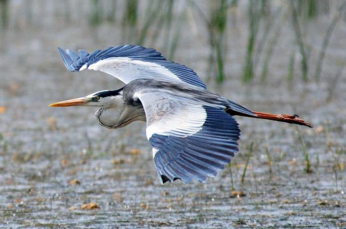 why does the heron stand on one leg