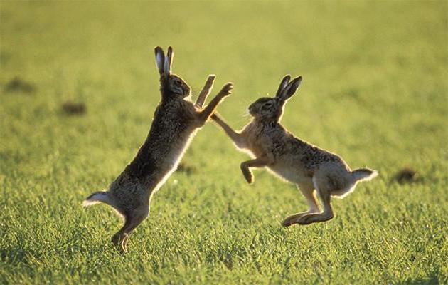 Где живут зайцы и чем питаются? Виды зайцев