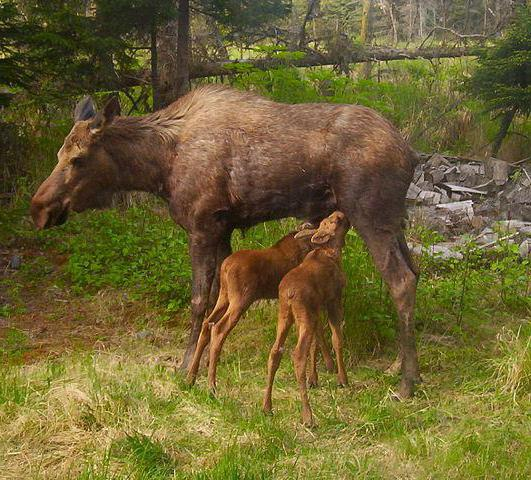 where elk lives in the forest