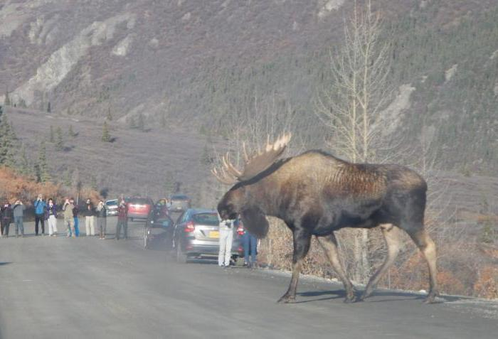 where do moose live in Russia