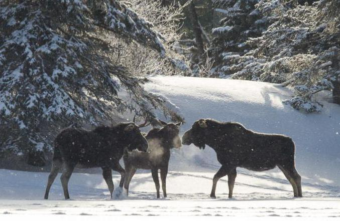 Where does an elk live in a forest in winter?