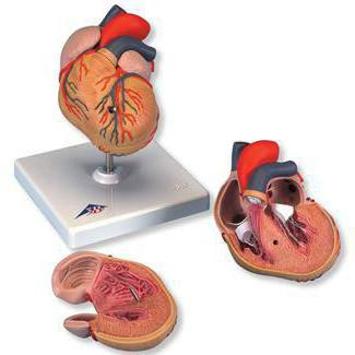 enlargement of the left ventricle of the heart what is it