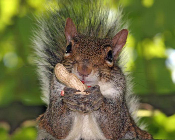 squirrel where lives than eats