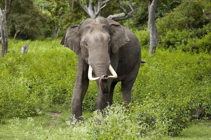 АзиаÑ'ский слон