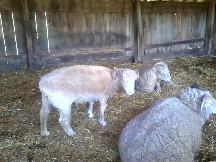 где живут овцы и бараны