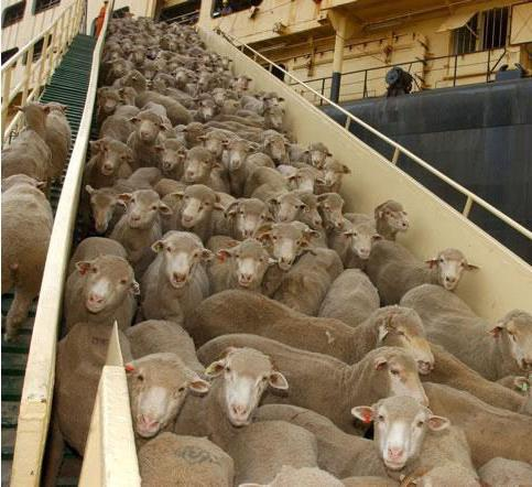 где живет овца