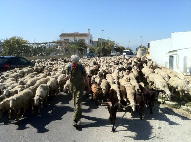 помещение где живут овцы