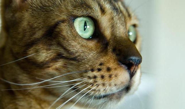 бенгальская кошка чем кормить котенка