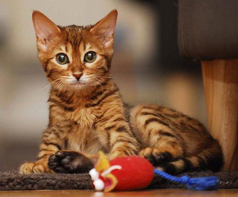 каким кормом лучше кормить бенгальского котенка
