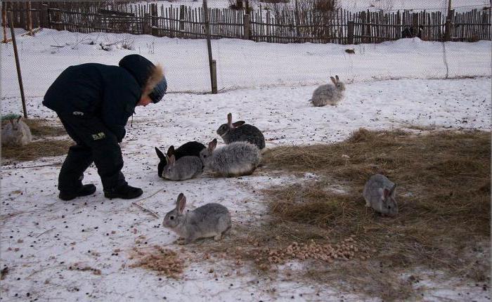 сколько раз в день кормить кроликов зимой