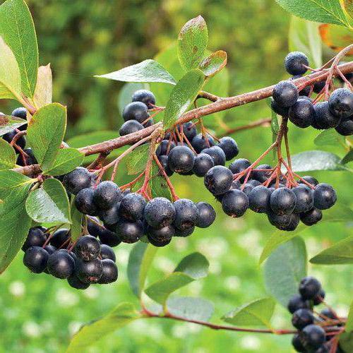 черноплодная рябина рецепт