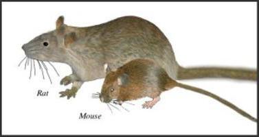 Как отличить мышат от крысят