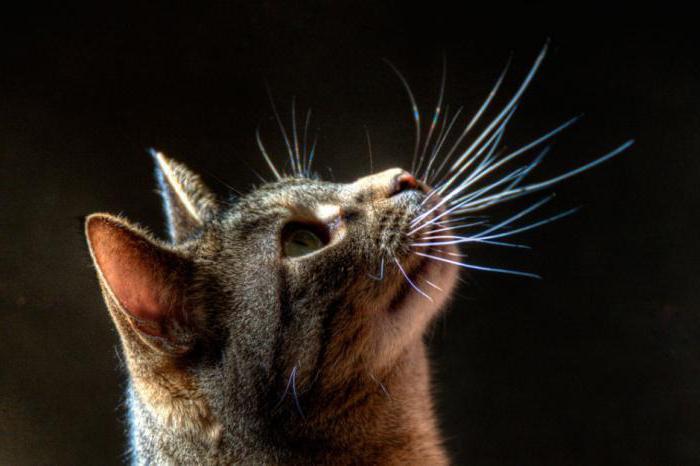 зачем коту усы