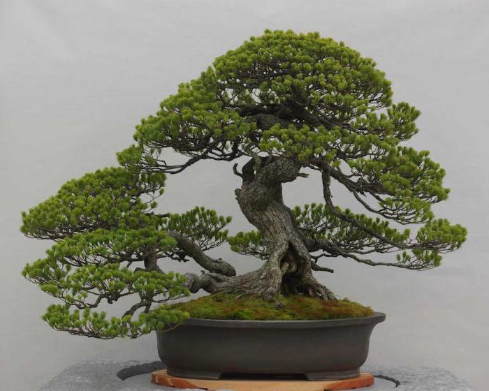 what is bonsai