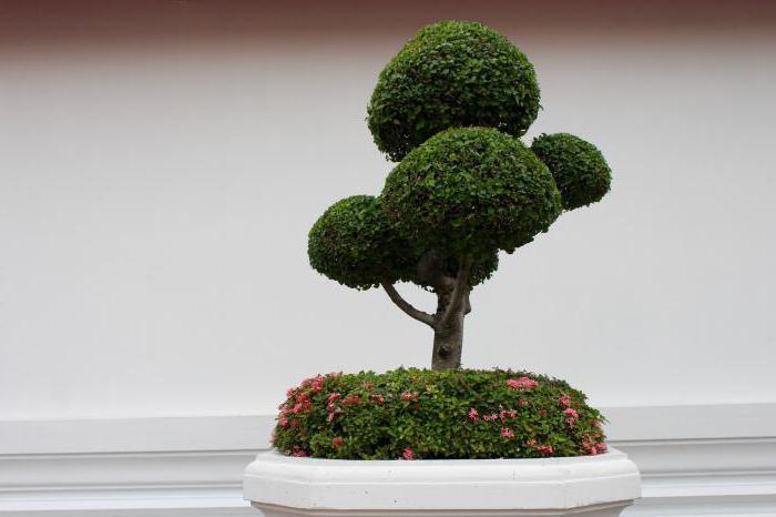 bonsai seeds