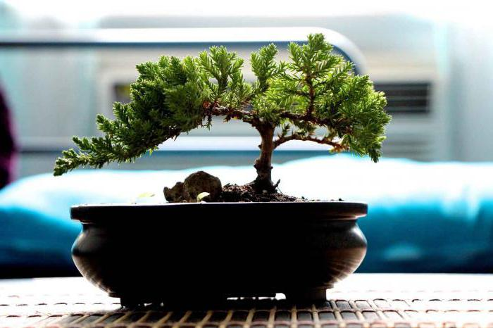how to grow bonsai at home