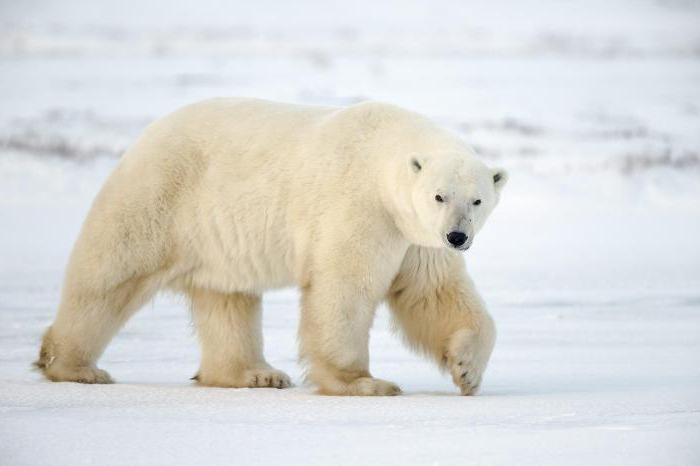Where does the polar bear live?