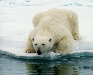 What natural zone does a polar bear live in?