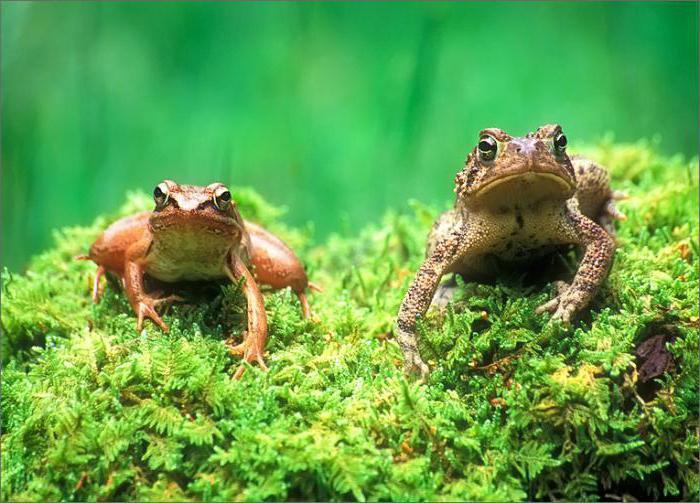 чем отличается жаба зеленая от лягушки прудовой