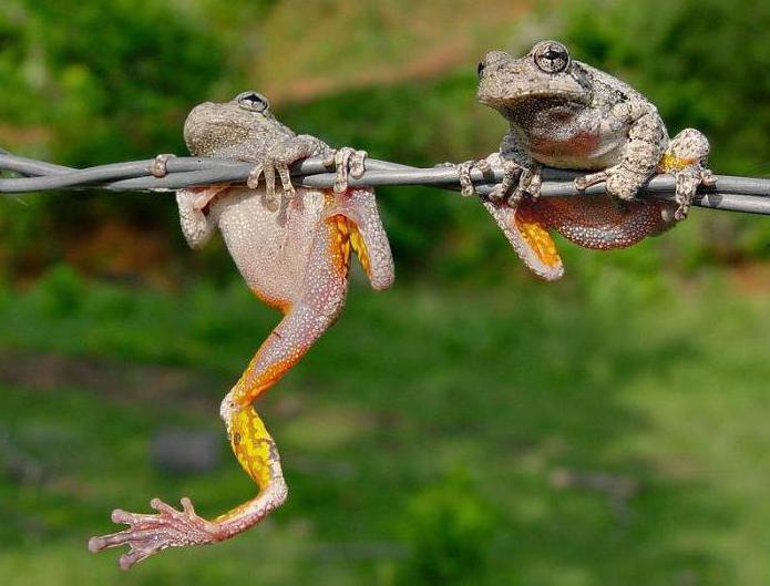 чем отличаются и чем похожи лягушка и жаба
