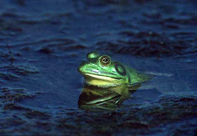 чем жаба отличается от лягушки