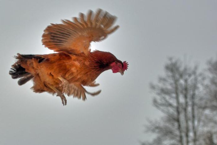why don't chickens fly