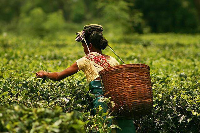 indian tea assam