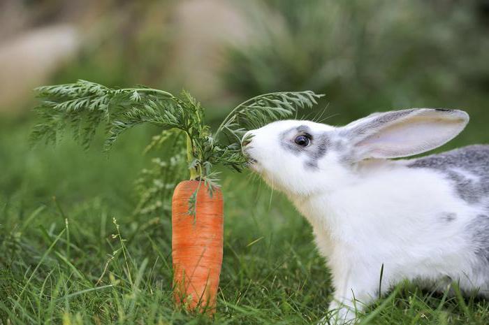 Декоративные кролики: содержание и уход. Чем кормить ... Декоративные Кролики Уход