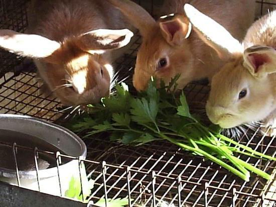 кролики в домашних условиях породы