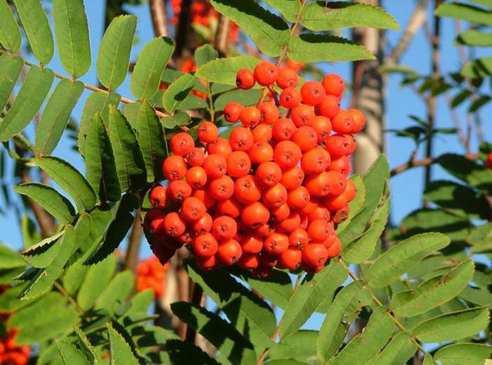 the lifetime of mountain ash in nature