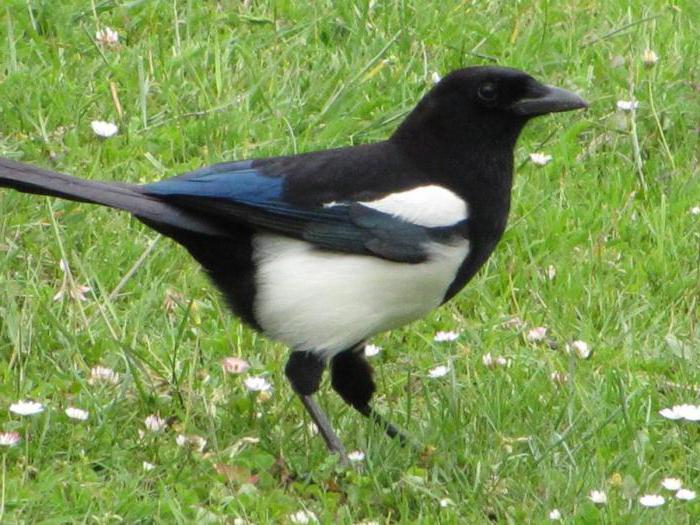 сорока перелетная птица или нет