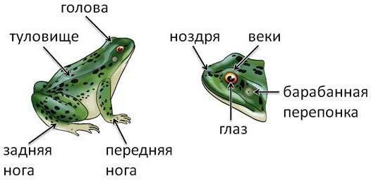 Легкие лягушки фото внутри