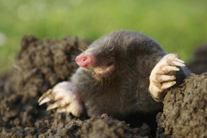 mole life expectancy