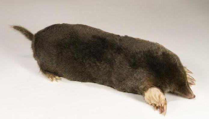 life expectancy of moles in nature