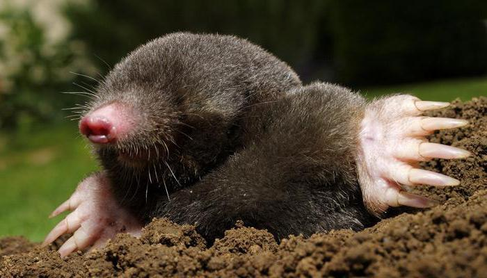 how long does the mole live