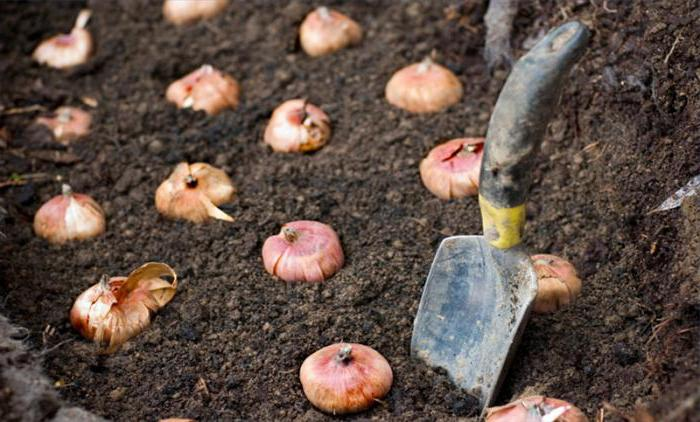 How to store dug bulbs of gladioli