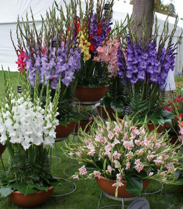 When to dig up gladiolus and how to store