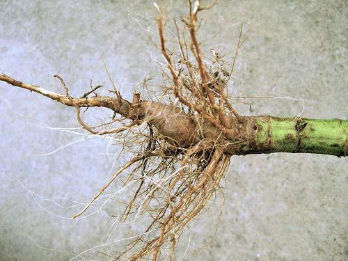 корень подсолнуха от камней
