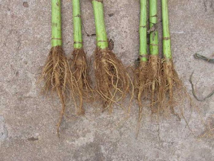корень подсолнуха лечебные свойства и противопоказания