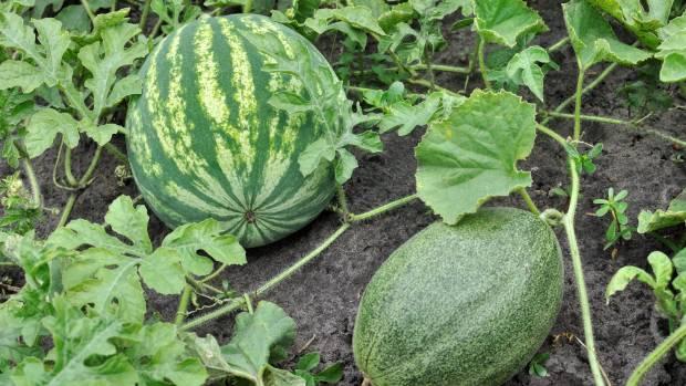 Изображение - Кто выращивает овощи 2236309