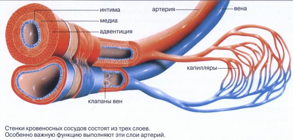 артерии строение в картинках захода солнца