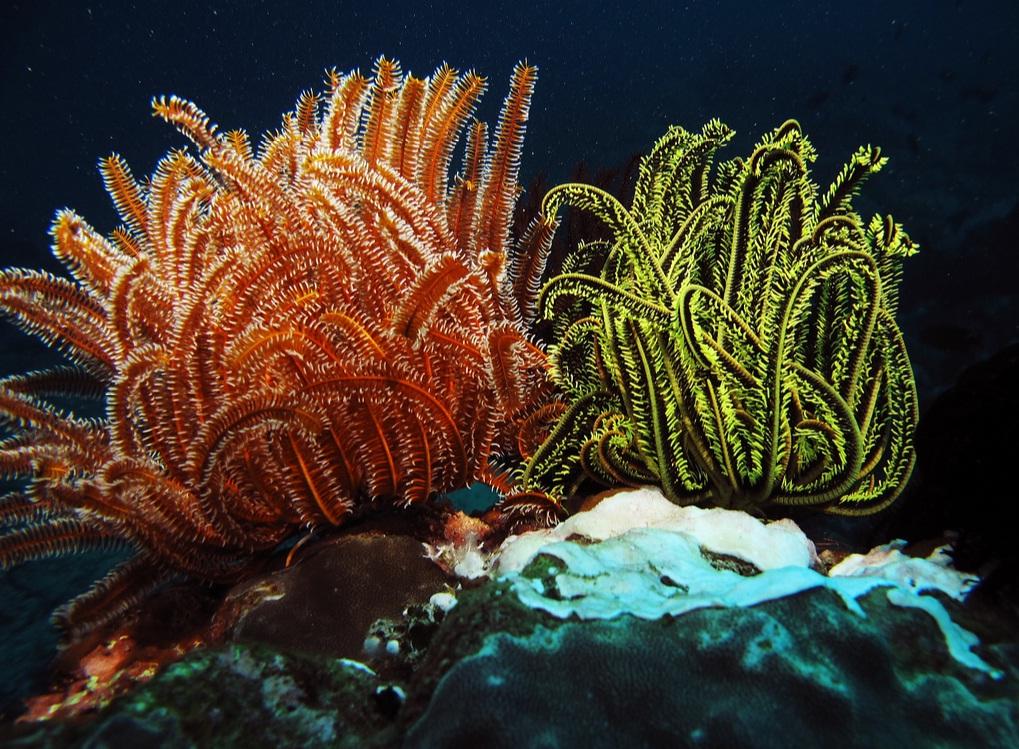 Оранжевая и зеленая морские лилии