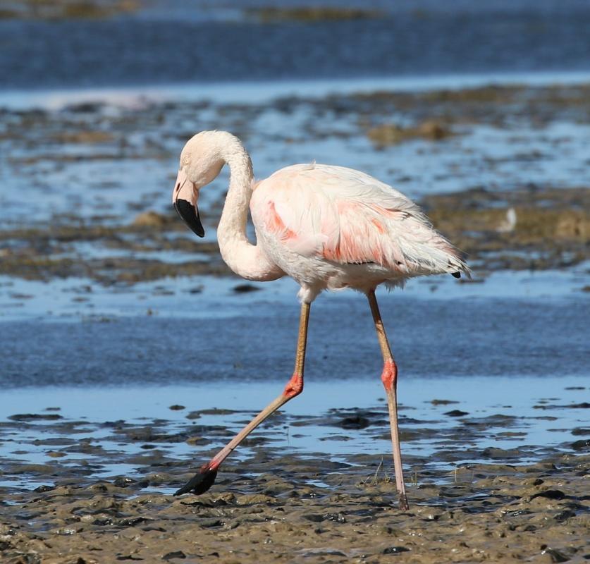 фламинго птица фото где живут пятке появилось черное